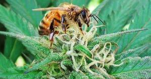 Resultado de imagem para bee cannabis